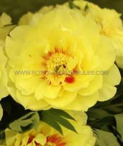 PAEONIA ITOH 'BARTZELLA' 2/3 EYE (25 P.BAG)