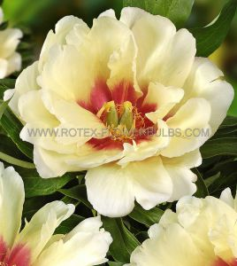PAEONIA ITOH 'CALLIE'S MEMORY' 2/3 EYE (25 P.BAG)