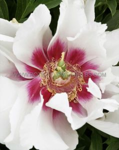 PAEONIA ITOH 'CORA LOUISE' 2/3 EYE (25 P.BAG)