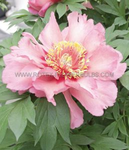 PAEONIA ITOH 'HILLARY' 2/3 EYE (25 P.BAG)