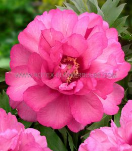 PAEONIA ITOH 'JULIA ROSE' 2/3 EYE (25 P.BAG)