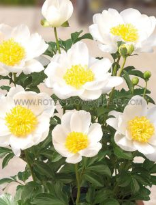 PAEONIA PATIO SINGLE 'DUBLIN' 2/3 EYE (25 P.BAG)
