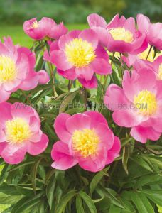 PAEONIA PATIO SINGLE 'KIEV' 2/3 EYE (25 P.BAG)