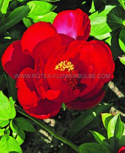 PAEONIA SINGLE 'BLAZE' 2/3 EYE (25 P.BAG)
