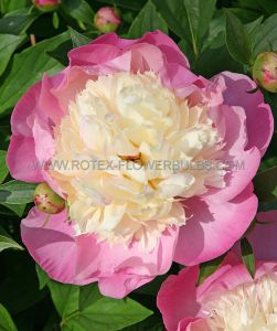 PAEONIA SINGLE 'BOWL OF BEAUTY' 3/5 EYE (25 P.BAG)