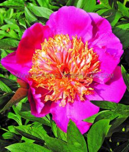 PAEONIA SINGLE 'DOREEN' 2/3 EYE (25 P.BAG)