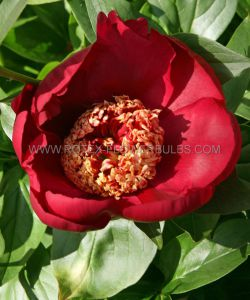 PAEONIA SINGLE 'NIPPON BEAUTY' 3/5 EYE (25 P.BAG)