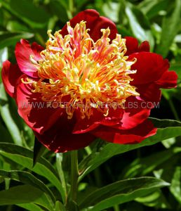 PAEONIA SINGLE 'SWORD DANCE' 3/5 EYE (25 P.BAG)