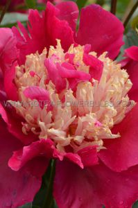 PAEONIA SINGLE 'TOM CAT' 2/3 EYE (25 P.BAG)