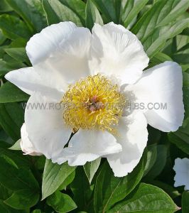 PAEONIA SINGLE 'WHITE WINGS' 3/5 EYE (25 P.BAG)