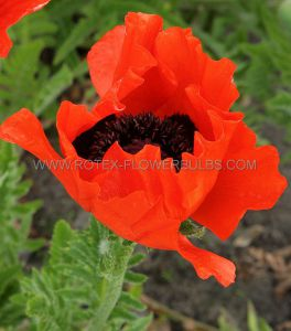 PAPAVER (ORIENTAL POPPY) ORIENTALE 'BEAUTY OF LIVERMERE' I (25 P.BAG)