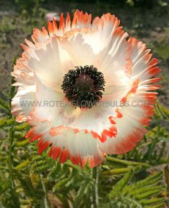 PAPAVER (ORIENTAL POPPY) ORIENTALE 'FLAMENCO' I (25 P.BAG)