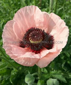 PAPAVER (ORIENTAL POPPY) ORIENTALE 'MRS. PERRY' I (25 P.BAG)