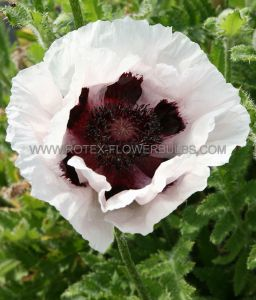 PAPAVER (ORIENTAL POPPY) ORIENTALE 'PERRY'S WHITE' I (25 P.BAG)