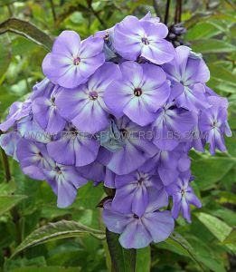 PHLOX PANICULATA 'BLUE BOY' I (25 P.BAG)