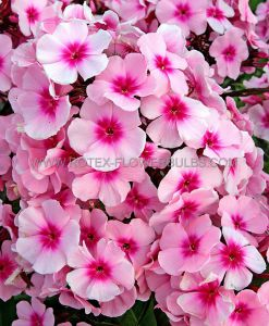 PHLOX PANICULATA 'BRIGHT EYES' I (25 P.OPEN TOP BOX)