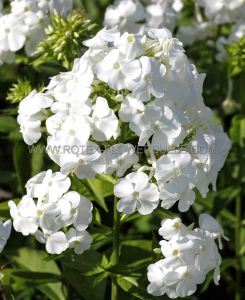 PHLOX PANICULATA 'DAVID' I (25 P.OPEN TOP BOX)