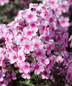 PHLOX PANICULATA 'EUROPA' I (25 P.OPEN TOP BOX)