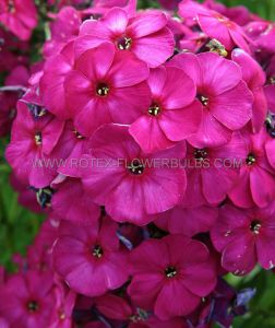 PHLOX PANICULATA 'NICKY' I (25 P.BAG)