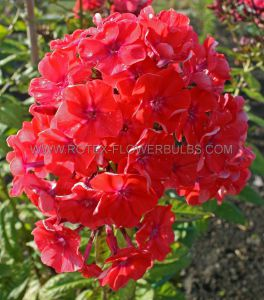 PHLOX PANICULATA 'ORANGE PERFECTION' I (25 P.OPEN TOP BOX)