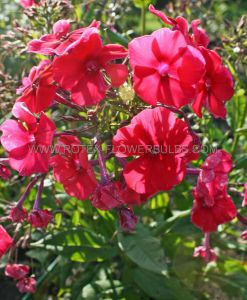 PHLOX PANICULATA 'RED RIDING HOOD' I (25 P.BAG)