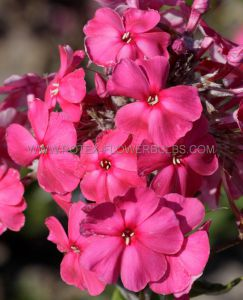 PHLOX PANICULATA 'TENOR' I (25 P.OPEN TOP BOX)