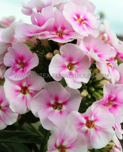 PHLOX PANICULATA 'YOUNIQUE BICOLOR' I (25 P.BAG)