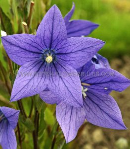 PLATYCODON (BALLOON FLOWER) GRANDIFLORUS 'FUJI BLUE' I (25 P.BAG)