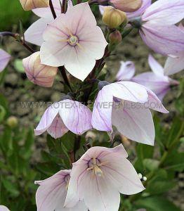 PLATYCODON (BALLOON FLOWER) GRANDIFLORUS 'FUJI PINK' I (25 P.BAG)
