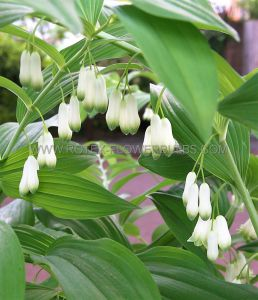POLYGONATUM (SOLOMON'S SEAL) MULTIFLORUM I (25 P.BAG)