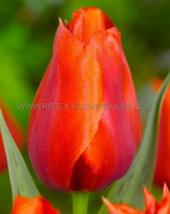PREMIUM TULIPA PKGS. GREIGII 'GIANT ORANGE SUNSET' 15/+ CM. (10 PKGS.X 3)