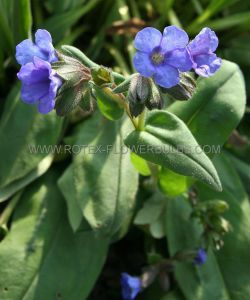 PULMONARIA (LUNGWORT) HYBRIDA 'BLUE ENSIGN' I (25 P.BAG)