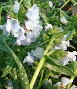 PULMONARIA (LUNGWORT) HYBRIDA 'OPAL' I (25 P.BAG)