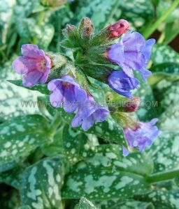 PULMONARIA (LUNGWORT) SACCHARATA 'MRS. MOON' I (25 P.BAG)