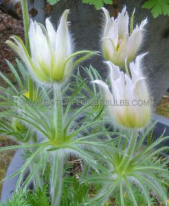 PULSATILLA (PASQUE FLOWER) VULGARIS 'ALBA' I (25 P.BAG)