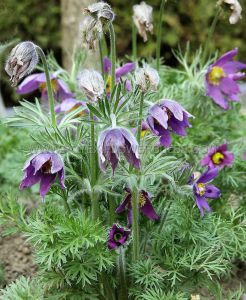 PULSATILLA (PASQUE FLOWER) VULGARIS I (25 P.BAG)