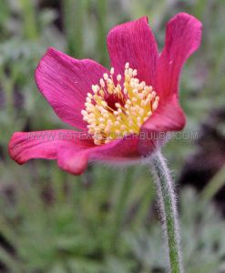 PULSATILLA (PASQUE FLOWER) VULGARIS 'RUBRA' I (25 P.BAG)