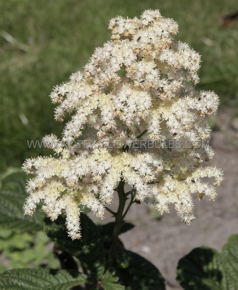 rodgersia rogers flower aesculifolia i 25 pbag