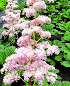 RODGERSIA (ROGER'S FLOWER) PINNATA 'ELEGANS' I (25 P.BAG)