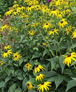 RUDBECKIA (BLACK-EYED SUSAN) FULGIDA 'CITY GARDEN' I (25 P.BAG)