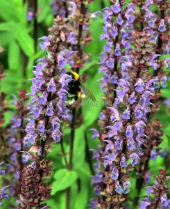 SALVIA (MEADOW SAGE) NEMOROSA 'CARADONNA' I (25 P.BAG)