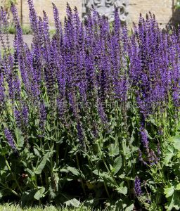SALVIA (MEADOW SAGE) NEMOROSA 'EAST FRIESLAND' I (25 P.BAG)