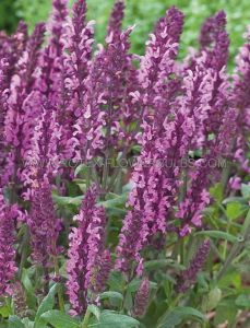 SALVIA (MEADOW SAGE) NEMOROSA 'NEW DIMENSION PINK' I (25 P.BAG)