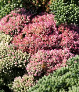 SEDUM (STONECROP) HYBRIDA 'AUTUMN JOY' I (25 P.BAG)