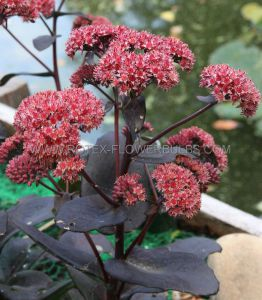 SEDUM (STONECROP) HYBRIDA 'CHOCOLATE CHERRY' I (25 P.BAG)