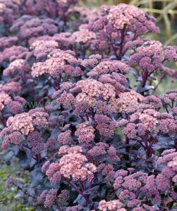 SEDUM (STONECROP) MOJAVE JEWELS 'DIAMOND' I (25 P.BAG)