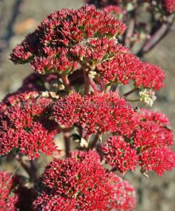 SEDUM (STONECROP) TELEPHIUM 'MUNSTEAD DARK RED' I (25 P.BAG)
