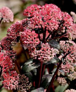SEDUM (STONECROP) TELEPHIUM 'RED CAULI' I (25 P.BAG)