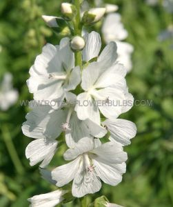 SIDALCEA (PRAIRIE MALLOW) (CHECKER BLOOM) CANDIDA I (25 P.BAG)