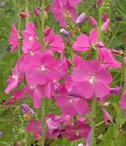 SIDALCEA (PRAIRIE MALLOW) (CHECKER BLOOM) HYBRIDA 'PARTYGIRL' I (25 P.BAG)